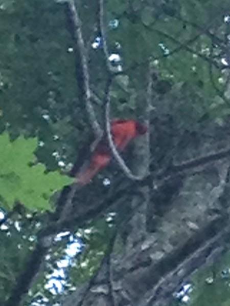 Gorel Landing OK Cardinal