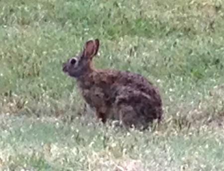 Salina KS KOA Resident Bunny