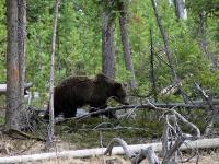 Grizzly Bear (click for larger photo)