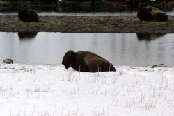 Bison Snow Yellowstone